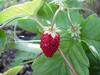 Boston Berry