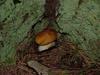 Boston Mushrooms
